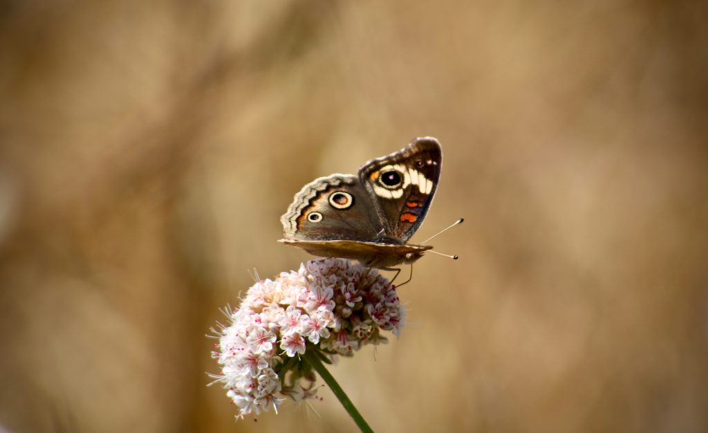 butterfly on flower no mow may