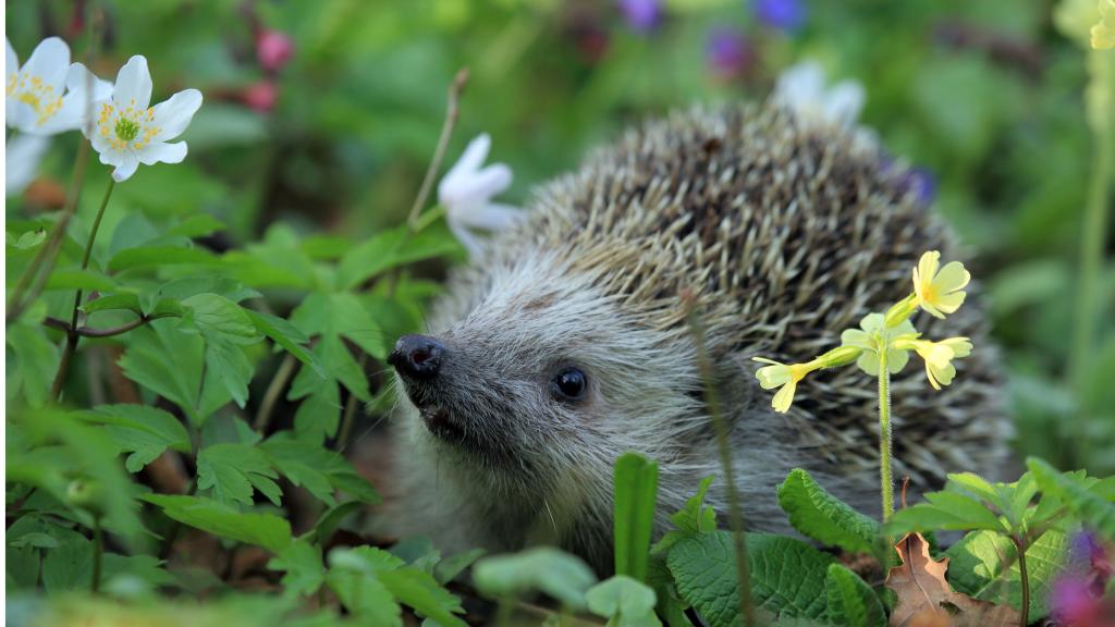 tommy and lottie hedgehog awareness week blog- hedgehog in the spring flowers