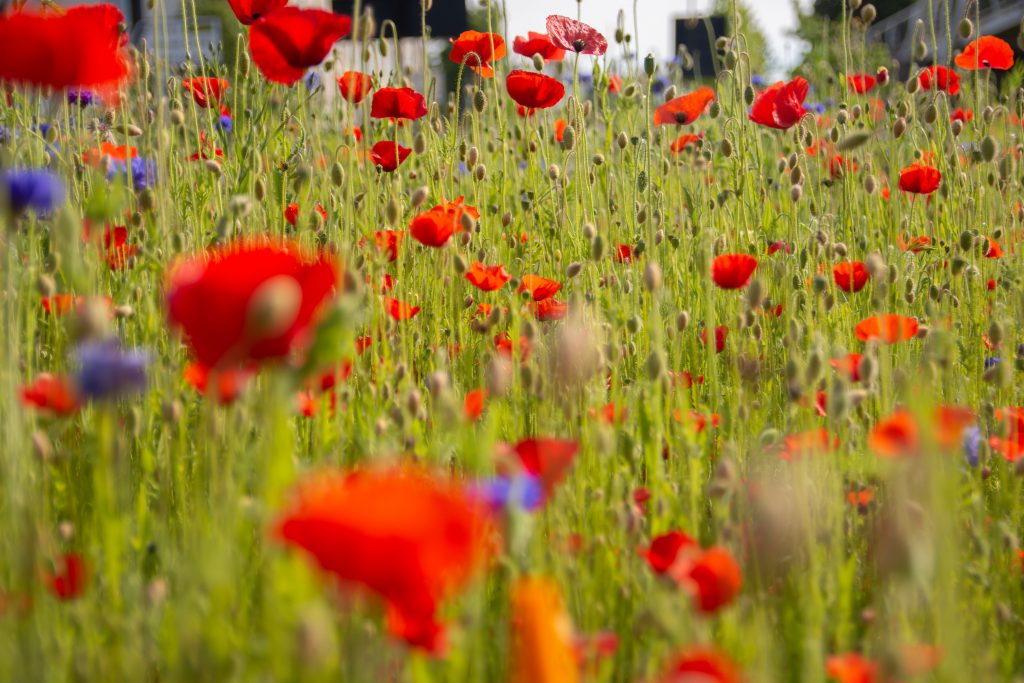 poppies and wildflower meadow - no mow may